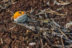 Unsound tangerine royalty free stock photo
