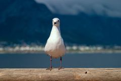 Gull unspoiled nature of South Africa. Gull unspoiled nature parks and nature reserves of South Africa stock images