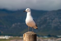 Gull unspoiled nature of South Africa. Gull unspoiled nature parks and nature reserves of South Africa stock photo