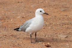 Gull unspoiled nature of South Africa. Gull unspoiled nature parks and nature reserves of South Africa stock photography