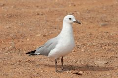 Gull unspoiled nature of South Africa. Gull unspoiled nature parks and nature reserves of South Africa royalty free stock photography