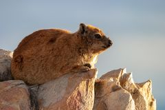 Rock hyrax unspoiled nature of South Africa. Rock hyrax unspoiled nature parks and nature reserves of South Africa royalty free stock images