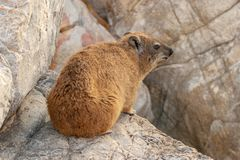 Rock hyrax unspoiled nature of South Africa. Rock hyrax unspoiled nature parks and nature reserves of South Africa stock images