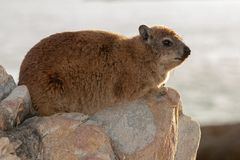 Rock hyrax unspoiled nature of South Africa. Rock hyrax unspoiled nature parks and nature reserves of South Africa royalty free stock image