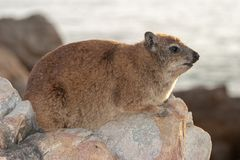 Rock hyrax unspoiled nature of South Africa. Rock hyrax unspoiled nature parks and nature reserves of South Africa stock photography