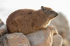 Rock hyrax unspoiled nature of South Africa. Rock hyrax unspoiled nature parks and nature reserves of South Africa stock image