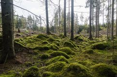 Free Unspoilt Moss Covered Forest Floor Stock Photography - 162644552