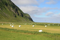 The Unstad's  valley with hay bales. The glacial valley of Unstad in  Lofoten islands full of white hay bales Stock Image