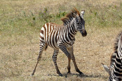 Unsteady baby zebra. An unsteady baby zebra (Equus Quagga) near the mother Royalty Free Stock Image