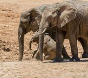Baby African Elephant 20. An unsteady Elephant calf trying to climb a bank Stock Image