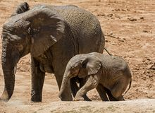 Baby African Elephant 22. An unsteady Elephant calf trying to climb a bank Stock Image