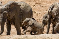 Baby African Elephant 25. An unsteady Elephant calf trying to climb a bank Stock Photo