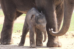 Unsteady Legs. New born elephant using his mother for support Royalty Free Stock Photo