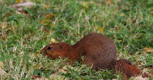 Unstriped ground squirrel, xerus rutilus, adult eating, Tsavo Parc in Kenya, Real Time. 4K stock video footage