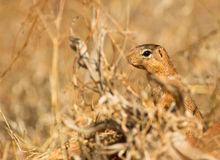 The Unstripped Ground Squirrel. Along the savannah and scrubs of the kenyan national parks this Unstripped Ground Squirrel may be seen quite often for a short stock photography