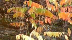 Unsurpassable Fall and Winter Color the Sumac Tree. Red, green, Gold & yellow on one tree in Southern West Virginia. Blowing in the breeze. The name Camp Creek stock footage