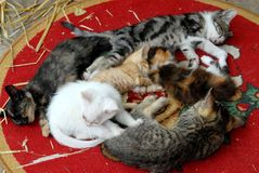 Untappeto red and six kittens colored Stock Photography