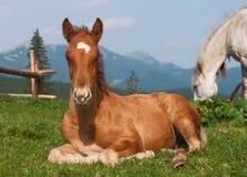 Unten liegen Fohlen an der alpinen Wiese Stockfoto