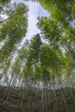 Unter dem blauen Himmel des Bambusses Stockfotos