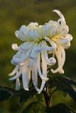 Unter dem Licht der Chrysanthemennahaufnahme Stockbild