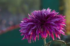 Unter dem Licht der Chrysanthemennahaufnahme Lizenzfreie Stockfotografie