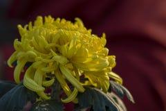 Unter dem Licht der Chrysanthemennahaufnahme Stockfoto