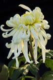 Unter dem Licht der Chrysanthemennahaufnahme Lizenzfreie Stockfotos