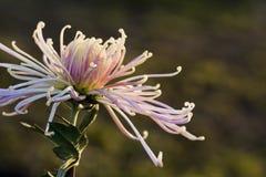 Unter dem Licht der Chrysanthemennahaufnahme Lizenzfreie Stockbilder
