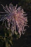 Unter dem Licht der Chrysanthemennahaufnahme Lizenzfreies Stockbild