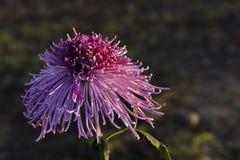 Unter dem Licht der Chrysanthemennahaufnahme Lizenzfreies Stockfoto