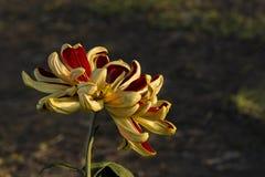 Unter dem Licht der Chrysanthemennahaufnahme Stockfotos