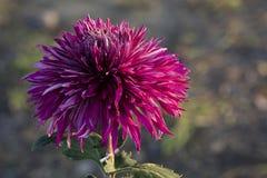 Unter dem Licht der Chrysanthemennahaufnahme Stockfotografie