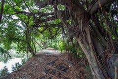 Unter dem Schatten von Banyanbäumen in Thailand-Landschaft stockbild