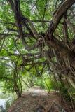Unter dem Schatten von Banyanbäumen in Thailand-Landschaft stockfotos