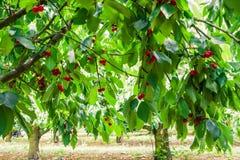 Unter dem Schatten von Kirschbäumen stockfotografie