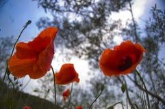 Unter den Mohnblumen und den Wolken lizenzfreie stockfotos