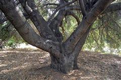 Unter den Niederlassungen eines mysteriösen alten Baums Lizenzfreies Stockfoto