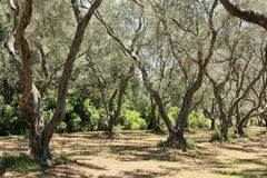 Unter den Olivenbäumen Stockbilder
