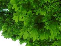 Unter der Kastanienbaumüberdachung Stockbild