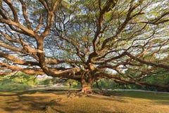 Unter des Stands großem riesigem Baum allein Lizenzfreie Stockfotografie