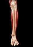 Unter Teil-Muskel-Anatomie Lizenzfreies Stockbild