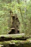 Unterbrochene Fichte mit Pilzen Stockfoto