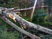 Unterbrochener Baum Stockbilder