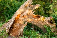 Unterbrochener Baum im Wald Stockbilder