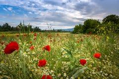 Unterdessen in der herrlichen Frühlingswiese Kroatiens mit Kamillen- und Mohnblumenblumen lizenzfreie stockfotografie