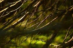 Untere trockene Fichtenzweige des Plexus in der abstrakten Form angesichts der Morgensonne lizenzfreies stockbild