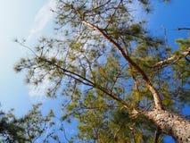 Unterer Himmel des Baums Stockfotos