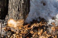 Untererer Teil des Stammes eines Baums herum abgeschnitten durch eine Axt und Chips mit Schnee Lizenzfreies Stockbild