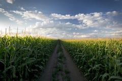 Untergehende Sonne über Maisfeld und Schotterweg, Mittelwesten, USA Lizenzfreie Stockfotos