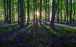 Untergehende Sonne, die lange Schatten durch ein GlockenblumeBuchenholz wirft stockbild